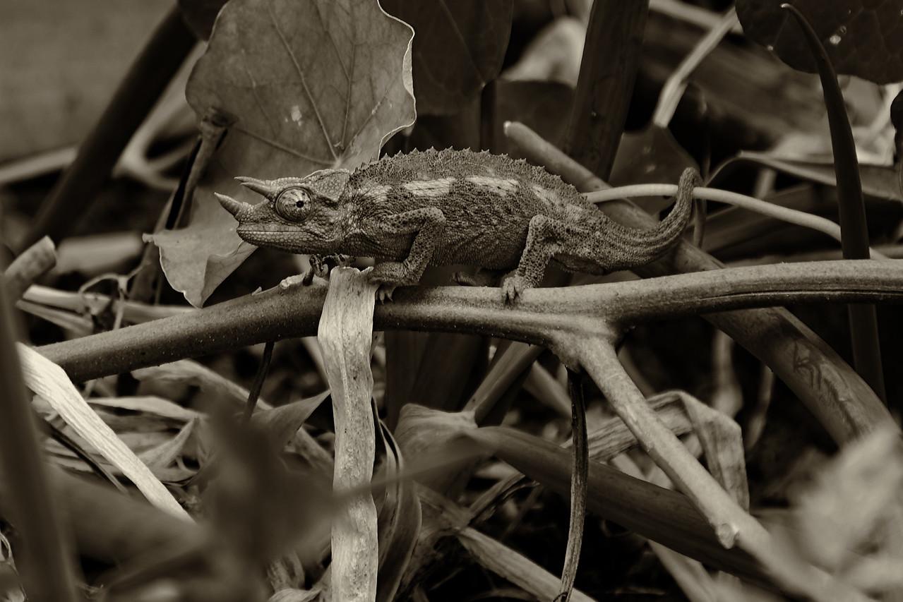 Jackson's Chameleon - monochrome<br /> (Trioceros jacksonii)