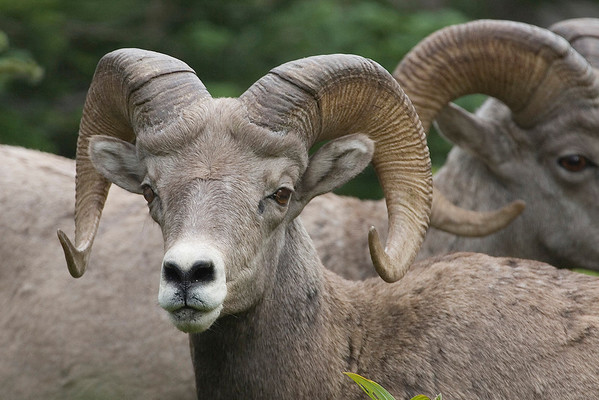 USA. Montana. Rocky Mountain Bighorn Sheep (Ovis canadensis) near Logan Pass, Glacier National Park. Rams, such as these, have curved horns that can weigh up to 30 pounds.