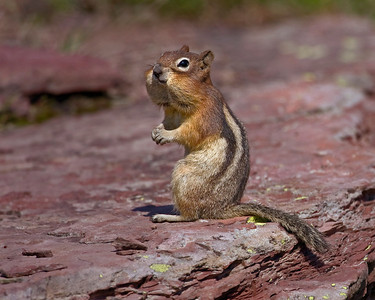 Golden-mantled Ground Squirrel with full cheeks.