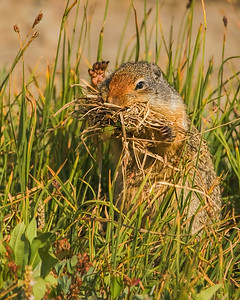 ground squirrel, wildlife, nature, Glacier National Park, Montana