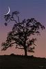 Cradled Crescent, Sierra Foothills