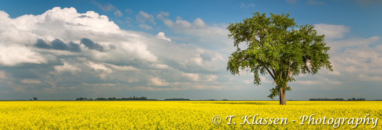 A lone tree in a blooming canola field near Myrtle, Manitoba, Canada.