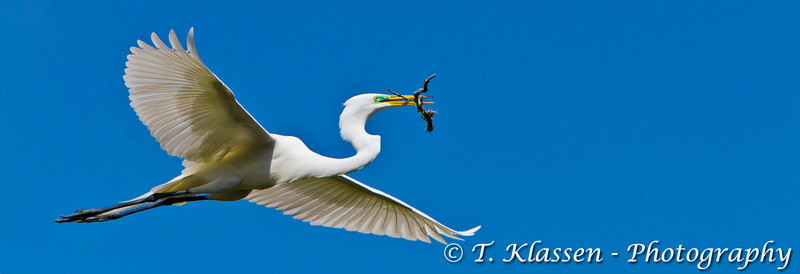A great white egret in flight carrying a twig at the Alligator Farm rookery in St. Augustine, Florida, USA.