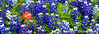 Closeups of Indian paintbrush and Texas bluebonnets near Ennis, Texas, USA.