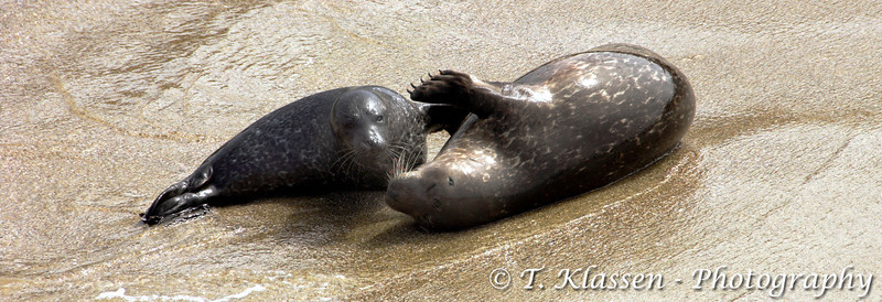 A seal pup and mother interacting on the beach at La Jolla, California, USA.
