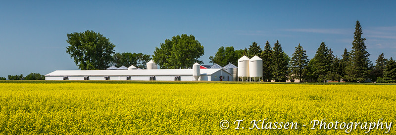 A hog barn and a blooming yellow canola field near Winkler, Manitoba, Canada.