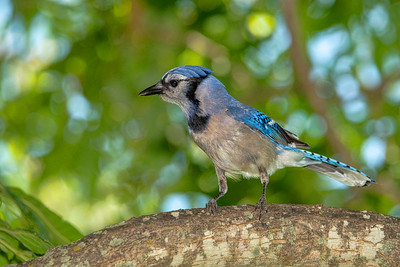 A Blue Jay watching for bugs from a good vantage point.