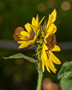 A two headed sunflower.
