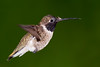 Black-chinned Male