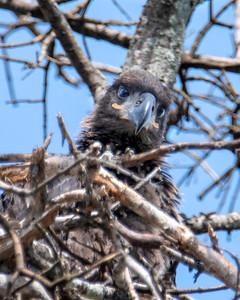 Bald Eagle Chick