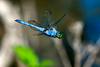 Eastern Pondhawk Dragonfly