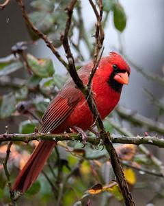 Cardinal in the Rain
