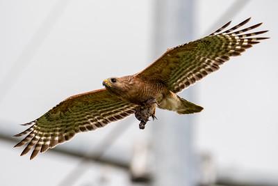 Red-shouledered Hawk