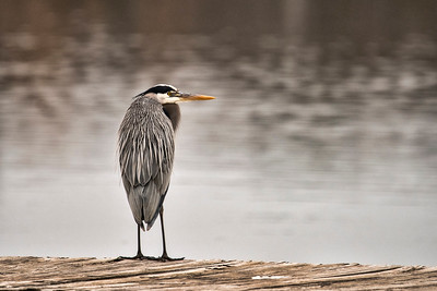 Great Blue Heron on a Dock