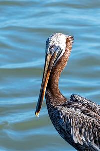 Brown Pelican at Pier 19