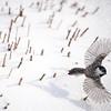 Chickadee in Snow