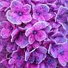 LavenderIce