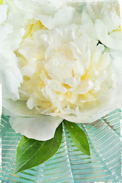 White Peony 2