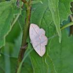 Confused Eusarca Moth (Eusarca confusaria)