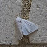 Fall Webworm (Hyphantria cunea)