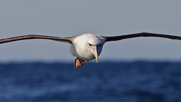 Up close and personal with a Shy Albatross (Thalassarche cauta)