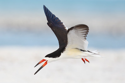 Black Skimmer (Rynchops niger) adult in breeding plumage
