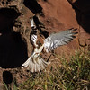 Nankeen Kestrel (Falco cenchroides) adult.  Photos by Meadow Bell - http://meadowbell.smugmug.com