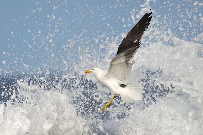Kelp Gull (Larus dominicanus) adult