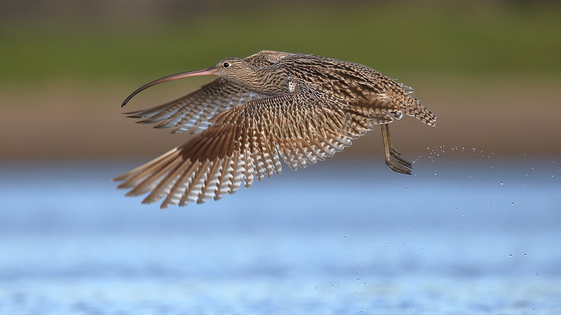 Eastern Curlew (Numenius madagascariensis) in flight