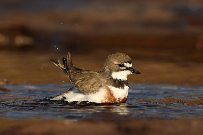 Double-banded Plover (Charadrius bicinctus) in breeding plumage having a bath