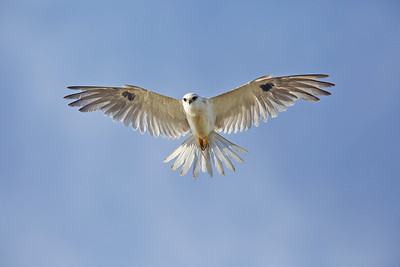 Juvenile Black-Shouldered Kite (Elanus axillaris) hovering right over the top of me.