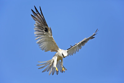 Black-shouldered Kite (Elanus axillaris) juvenile hunting.