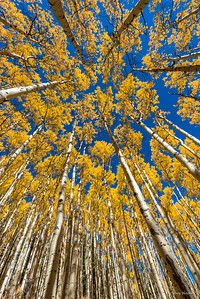 The Never-ending Aspens