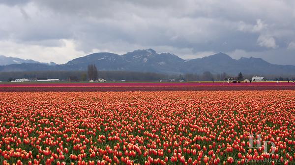 Skagit valley tulip festival. Cascade mountains.