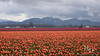 Skagit valley tulip festival. Cascade mountains.
