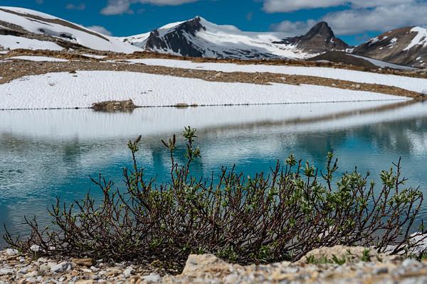 Glacier Willows
