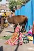 Street Cattle