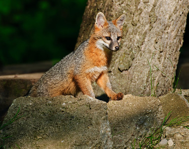 Grey Fox pup