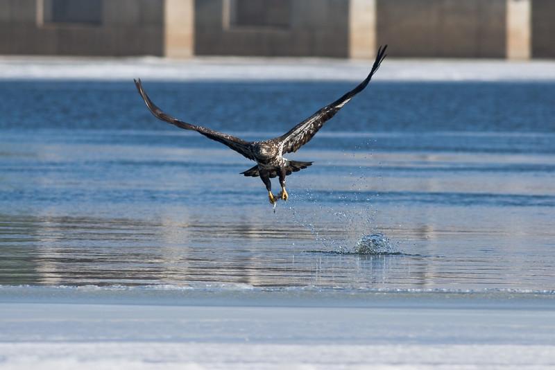 Juvenile Bald Eagle snatches up a fish at Burlington Iowa.