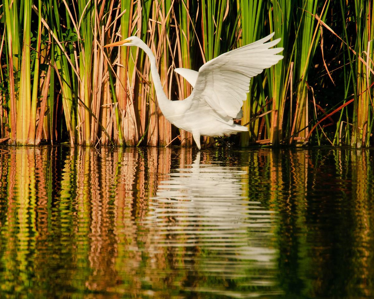 Rippled Egret