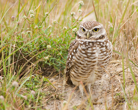 Burrowing Owl in Cape Coral, FL