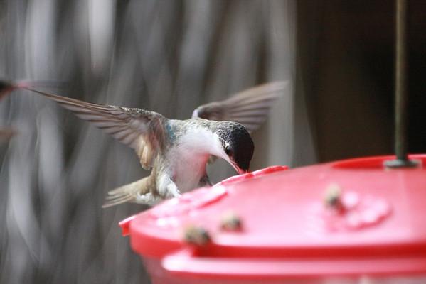 Monster hummingbirds in El Fuerte, Sinaloa, Mexico