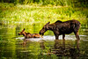 A Mother Moose gently guides her calf safely to the other side of the Coeur D Alene River.