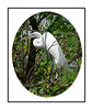 A great white egret in the Audubon Corkscrew Sanctuary in Florida; view this in the largest sizes to see the details on the bird.