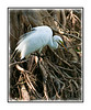 A great white egret in the Audubon Corkscrew Sanctuary in Florida; view this in the largest sizes to see the feather and feet detail.