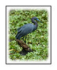 A little blue heron in the Audubon Corkscrew Sanctuary in Florida; view in the largest sizes to see the details.