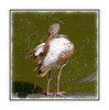A juvenile white ibis grooms its feathers in the Big Cypress Swamp in the Everglades; in its first summer, the white ibis has this plumage; earlier in the year, its plumage is even more brown.  View in the largest sizes to see the feather and beak detail.