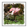 A roseate spoonbill vocalizing in the Audubon Corkscrew Sanctuary in Florida; view this image in the largest sizes to see the detail of the bird.