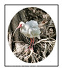 An adult white ibis at the Audubon Corkscrew Sanctuary in Florida; view in the largest sizes to see the feather details.