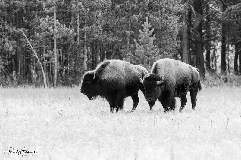 ~Ballad of the Buffalo~
